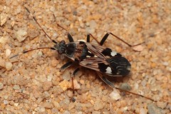 Beosus maritimus - 12 VIII 2018 (el.gritche) Tags: heteroptera france 40 garden lygaeidae beosus maritimus beosusmaritimus