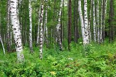 Birch forest around Efremkino Village, Khakassia, Russia (Fedor Odegov) Tags: birch forest efremkino khakassia russia trees березы