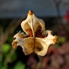 Samenkapsel einer Tulpe (dl1ydn) Tags: dl1ydn garden nature samenkapsel tulpen manuell garten voigtländer ultron f250mm 50mm altglas tulip tulpensamen bokeh