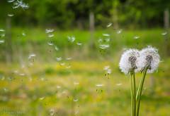 basta un soffio per volare via, a breath is enough to fly away (adrianaaprati) Tags: breath dandelion flying seeds flyaway