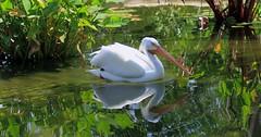 Wetland Beauty (PelicanPete) Tags: americanwhitepelican water bird pelican zoomiami miamiflorida unitedsates usa male large fibrousplate reflective wetlandbeauty sunrays5