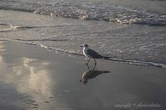 Seagull, Emerald Isle (photoeclectia1) Tags: