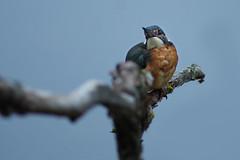Kingfisher (Hugobian) Tags: kingfisher bird birds nature wildlife fauna animal lackford lakes pentax k1 swt