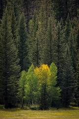 The First Sign of Fall (jackielynn831) Tags: nature landscape pinetrees aspens fall nikon d7200 tamron 150600 northrim arizona grandcanyon nationalpark