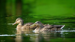 Au Fil de l'eau - 5851 (ΨᗩSᗰIᘉᗴ HᗴᘉS +23 000 000 thx) Tags: bird green nature two duo hensyasmine namur belgium europa aaa namuroise look photo friends be wow yasminehens interest intersting eu fr greatphotographers lanamuroise