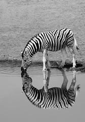 Safari Time-Zebras (giuliamariotto) Tags: safariphotography naturephotography nature animals africa namibia safari zebra