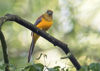 Orange-breasted trogon