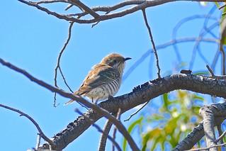 Horsefield's Bronze Cuckoo