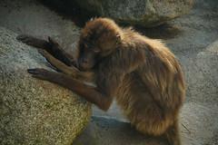 DSC06881 (Christine Gerhardt) Tags: affe deutschland dschelada stuttgart tierfoto wilhelma zoo