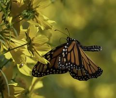 MonarchButterfly_SAF6770 (sara97) Tags: danausplexippus butterfly copyright©2018saraannefinke endangered missouri monarch monarchbutterfly nature photobysaraannefinke pollinator saintlouis towergrovepark inflight