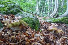 Boletus edulis (giansacca) Tags: mushrooms funghi fungus fungo fungi ciuperci pilz hongo seta champignons bolet boletusedulis cep porcino
