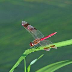 Sympétrum du Piémont (Sympetrum pedemontanum) (bernarddelefosse) Tags: sympétrumdupiémont sympetrumpedemontanum libellule odonate insecte animal proxi pierrelatte