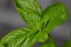2018-09-14 Basil (s.kosoris) Tags: skosoris nikond3100 d3100 nikon macro leaf leaves basil