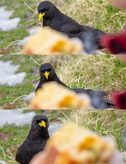 Greed (Madpenguin Photo) Tags: bird hunger mountain sandwich envy greed chough chocard