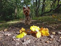 Looking for autumn (katy1279) Tags: autumnleavesautumncoloursyorkshireterrieryorkielovelyboycutedog