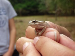 Pinewoods Tree Frog (Hyla femoralis) (T_Hancock) Tags: frog anuran herp
