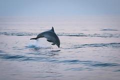 Delfine vor der kroatischen Küste (Jana`s pics) Tags: delfin dolphin delphin sprung springen ocean meer wasser water croatia kroatien adria küste coast wildlife wildtiere säugetiere meeresbewohner nature natur istrien
