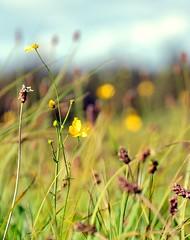 Yellow Sparkles (barbara_donders) Tags: natuur nature indiansummer nazomer inhetveld inthefield grasveld grassland green groen geel flowers bloemen bokeh magical beautiful mooi prachtig