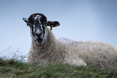 counting sheep (Mark Rigler -) Tags: sheep stormy sky hill top nature wool