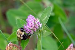 Bumblebee (scottrobart) Tags: bumblebee nikon d4 200500mm f56