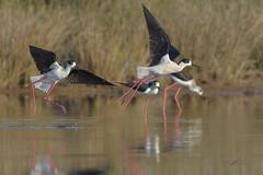 Cavalieri litigiosi (mauro.santucci) Tags: cavalieriditalia limicoli uccelli uccello bird avifauna natura birdwatching wildlife wild