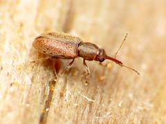 Tiny Weevil (treegrow) Tags: newzealand moana lakebrunner nature lifeonearth raynoxdcr250 arthropoda insect beetle coleoptera curculionoidea