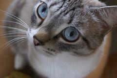 DSC05049 (coonfide) Tags: siberea cats macro couple portrait cute photoshoot nature amateur mature