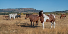 a horse of a different color (laura's POV) Tags: horse horses ponies jacksonhole wyoming northamerica fall autumn pasture grazing sky mountains gtnp tetons wildwest western landscape lauraspov lauraspointofview pinto painthorse duderanch ranch equine united states