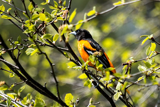 IMG_1740  Baltimore Oriole