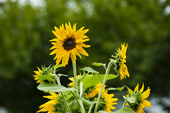 Sunflowers (milepost430media.com) Tags: flower petal grow delicate seeds yellow bright vibrant beautiful garden summer plant nature natural leaves green