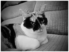 Lola (shaun Hickman) Tags: black white paws ears
