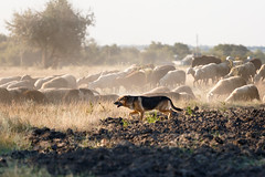 SHA_4062 (andreyshkvarchuk) Tags: pet sheep shepherd dog 7d2 702004lis field summer nature