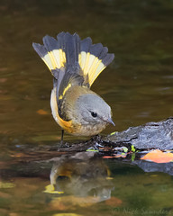 American Redstart (Nick Saunders) Tags: americanredstart female bathing pond water saskatchewan canada fallmigration