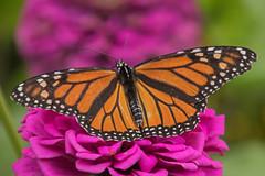 IMG_3088a (judyflo1) Tags: garden macro butterfly monarch wings pink flower orange