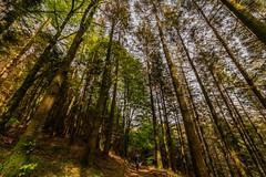 Hatch Wood Walk (trevorhicks) Tags: gunnislake england unitedkingdom gb hatch cornwall path outdoor canon 5d mark iv sigma