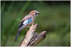Jay - Vlaamse Gaai  (Garrulus glandarius) (Martha de Jong-Lantink) Tags: 2018 eurasianjay fotohutalblasserwaard gaai garrulusglandarius grootammers vogel vogelhutalblasserwaard vogels