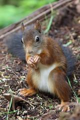 Red Squirrel 3 (PARMAR2009) Tags: red squirrel nutkin arran scotland brodick castle feeding hide