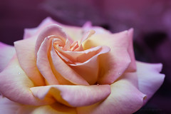 Sony a7 50mm 2.8 macro (Jasrmcf) Tags: ilce7 sel50m28 sony sony50mm sonyimages sonya7 fullframe sonyalphaa77 sonymacro 50mm28macro macro smooth blur bokeh bokehlicious bokehgraph dof detail depthoffield flowers rose garden nature greatphotographers colourartaward colourful