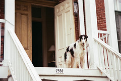 Guardian - 35mm Point and Shoot (Irrational Photography) Tags: μ retro vintage antique hipster old analogue analog picture photo film grain noise slr 35mm 35 montreal quebec city canada point shoot pointandshoot ultramax gold kodak pushed street walk walking photography candid path people shop shoppe window wall road dog dogs afghan hound greyhound white banister stairs door doors up higher ground brick unedited