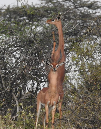 7538e  pair of Gerenuk