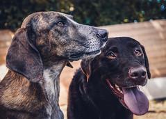 Best Friends (HeiJoWa) Tags: alpha6000 alpha 6000 dogs hunde friends closeup portrait porträt saarland sony freunde 7dwf fun crazy