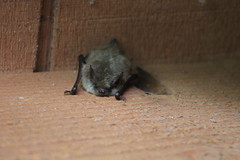 wee bat (EllenJo) Tags: bat murcielago rodent winged clarkdale arizona az august28 2018