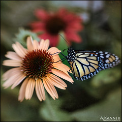 Female Monarch... (angelakanner) Tags: canon70d lensbaby sol45 monarch coneflower garden longisland