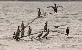 Great cormorant, Greifensee