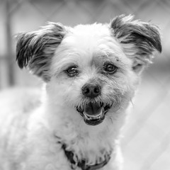 Jiminy_Cricket02Sep201846-Edit.jpg (fredstrobel) Tags: dogs blackandwhite places atlanta usa pets animals ga pawsatanta phototype pawsdogs decatur georgia unitedstates us