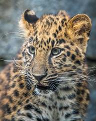 DSC_6933-Edit (craigchaddock) Tags: amurleopard maryanne pantherapardusorientalis sandiegozoo endangeredspecies endextinction endangered