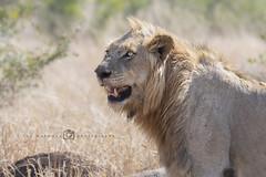 Leeuw - Panthera leo (rinus64) Tags: leeuw pantheraleo krugernationalpark d500 nikon southafrica zuidafrika satara