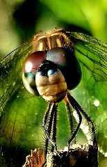 2018-09-09_10-51-00 (jnnfrpaige25) Tags: dragonfly nature insect polk florida compoun eyes