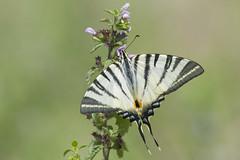 Scarce Swallowtail  (Iphiclides podalirius). (Bob Eade) Tags: scarceswallowtail bulgaria butterfly nectaring macro meadow bokeh europeanbutterflies wildlife grassland