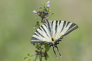 Scarce Swallowtail  (Iphiclides podalirius).